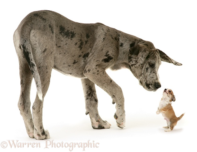 Great Dane pup, Maysie, and Chihuahua pup, white background