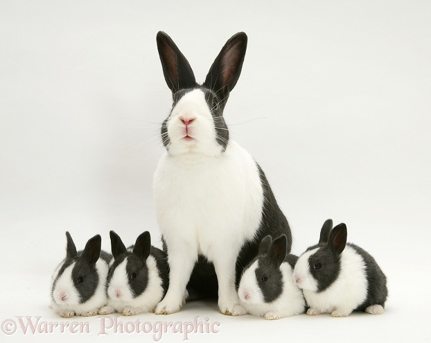 Blue Dutch rabbit with four of his babies, 3 weeks old, white background