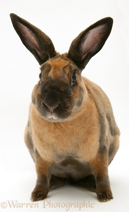 Sooty-fawn Rex rabbit, white background