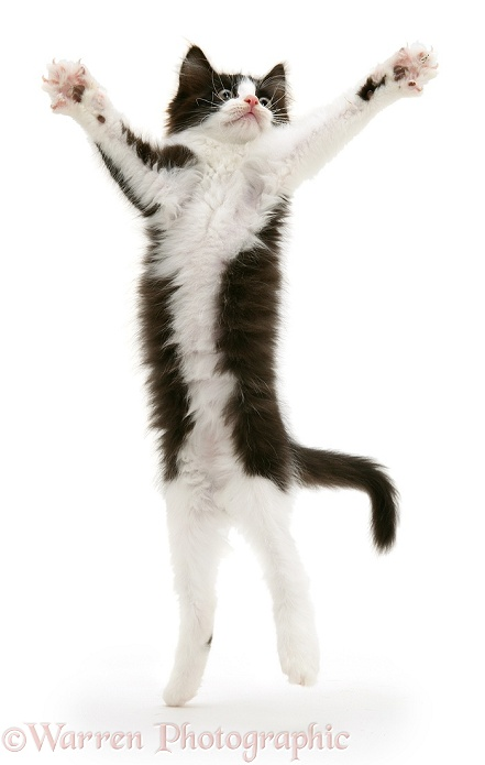 Black-and-white kitten, Felix, leaping and reaching out, white background