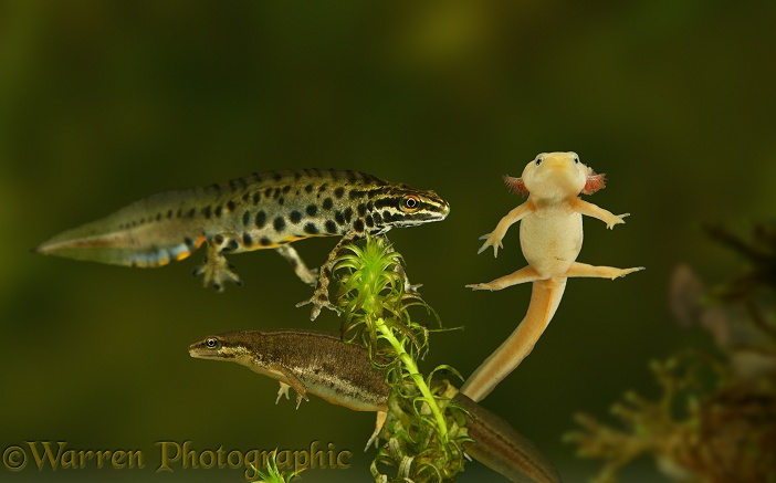 Smooth Newts (Triturus vulgaris). Normal pair and leucistic neotenous form