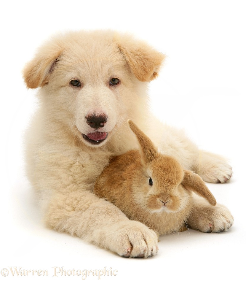 White German Shepherd Dog pup and Sandy Lop baby rabbit, white background
