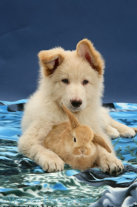 White German Shepherd Dog pup and Sandy Lop baby rabbit, both with one ear up