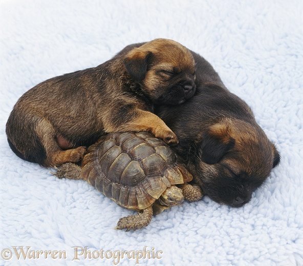 Tortoise and sleepy puppies, white background