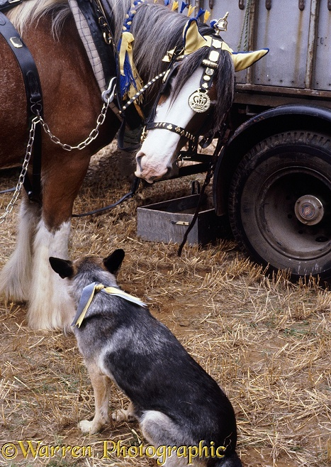 German Shepherd Dog watches his Shiredale horse friend being dressed for a ploughing match