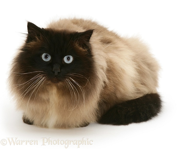 Birman cat, Celery, white background