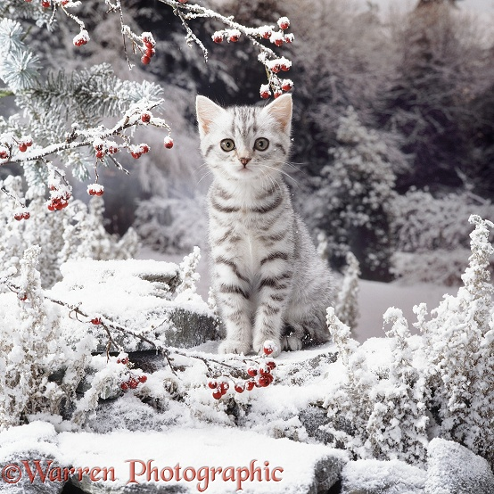 British Silver Spotted Tabby kitten on snowy rockery
