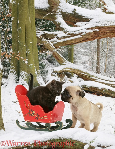 Black Smoke Spotted British Shorthair kitten and pug pup with sledge in snow