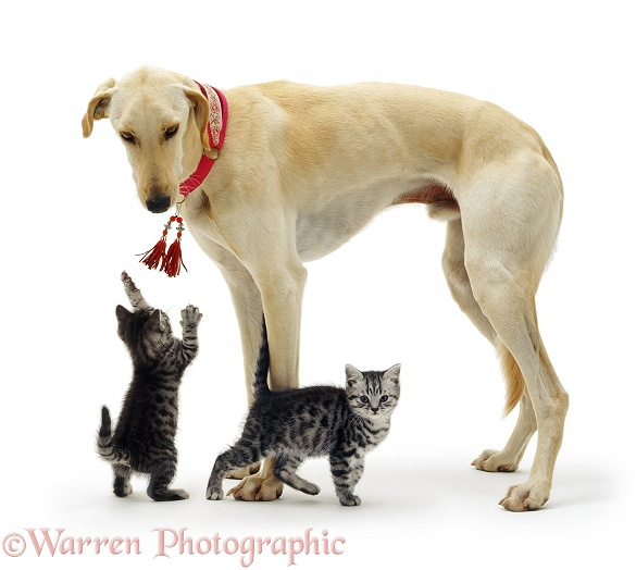 Saluki Lurcher Swift and two silver tabby kittens, white background