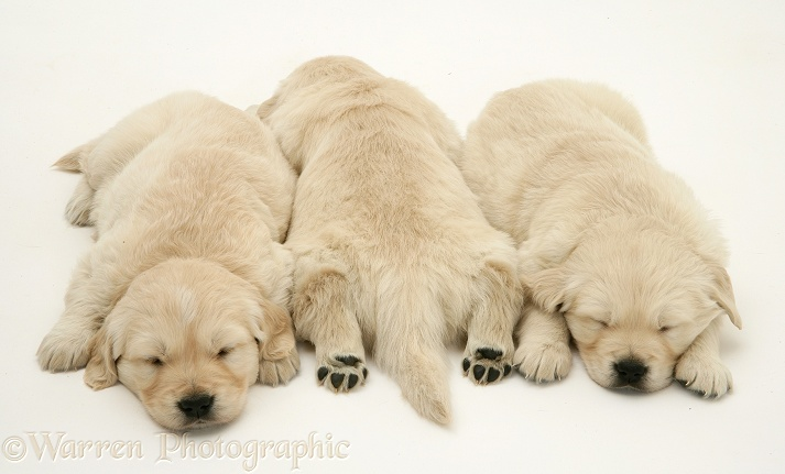 Golden Retriever pups asleep, one back view, hind paws outstretched, white background