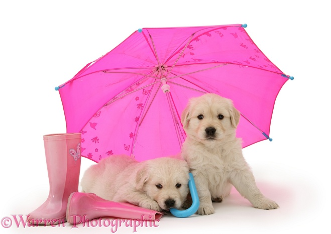 Golden Retriever pups under a pink umbrella, white background