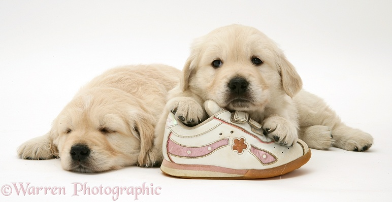 Golden Retriever pups with a child's shoe, white background