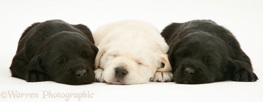 Black and yellow Goldador pups asleep