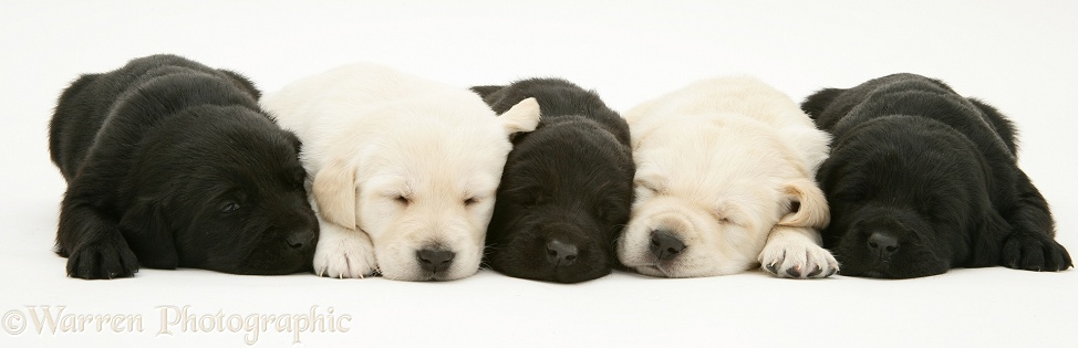 Sleepy black and yellow Goldador pups