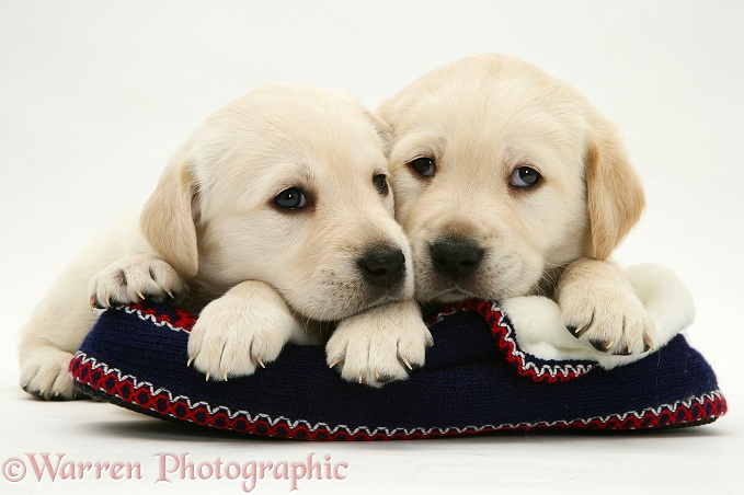 Yellow Goldador Retriever pups on a knitted slipper, white background