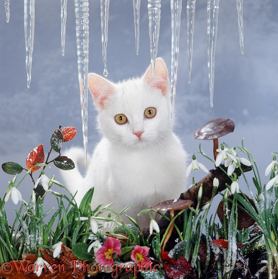 Portrait of amber-eyed white catten (Peregrine x Thisbe) with snowdrops, pink primulas and toadstools, melting snow and icicles