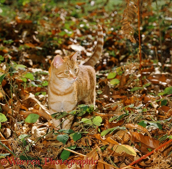 Ginger cat, 6 months old, prowling among autumn bracken and brambles