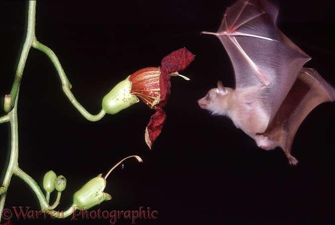 Lesser Epauletted Fruit Bat (Micropteropus pusillus) approaching the flower of Sausage Tree.  Africa