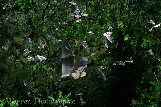 Davy's Naked-backed Bats (Pteronotus davyi) emerging from the vertical shaft of a cave at dusk.  Americas