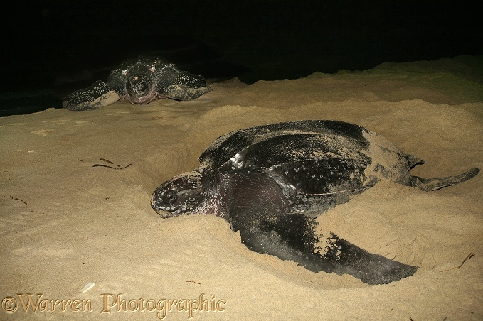 Leatherback Turtle (Dermochelys coriacea) egg-laying female with another approaching from the sea.  Worldwide