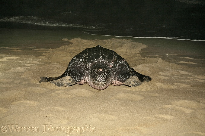 Leatherback Turtle (Dermochelys coriacea) female emerging from the sea to deposit her eggs.  Worldwide