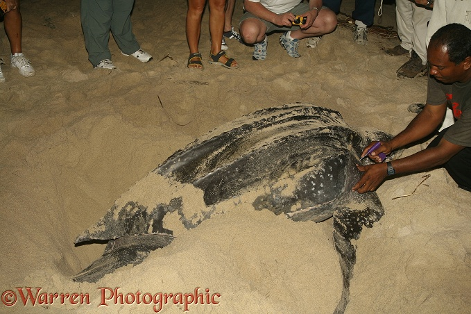 Leatherback Turtle (Dermochelys coriacea) egg-laying female being marked for identification.  Worldwide