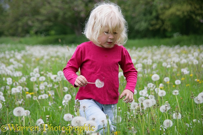 Siena among Dandelion seeds