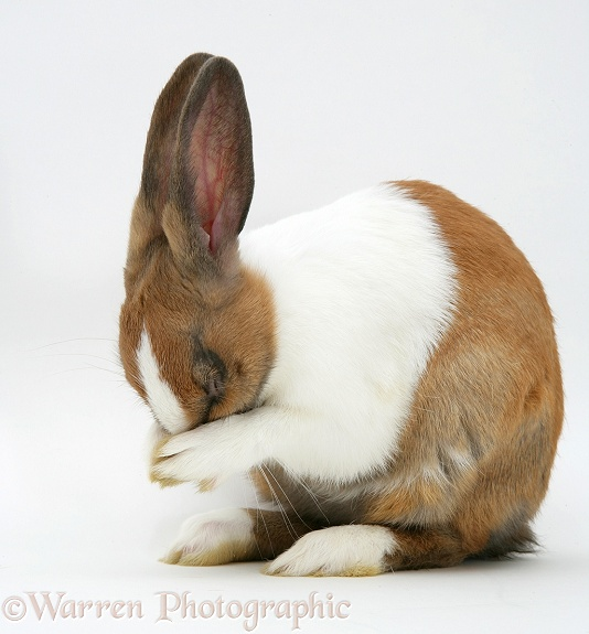 Yellow Dutch rabbit washing her face, white background