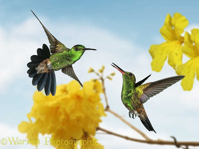 Copper-rumped Hummingbirds (Amazilia tobaci) in territorial dispute.  South America
