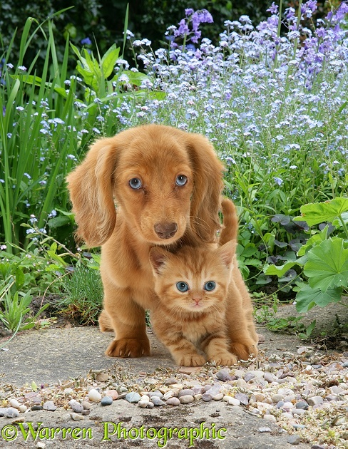 Cream Dapple Miniature Long-haired Dachshund pup with British Shorthair red tabby kitten