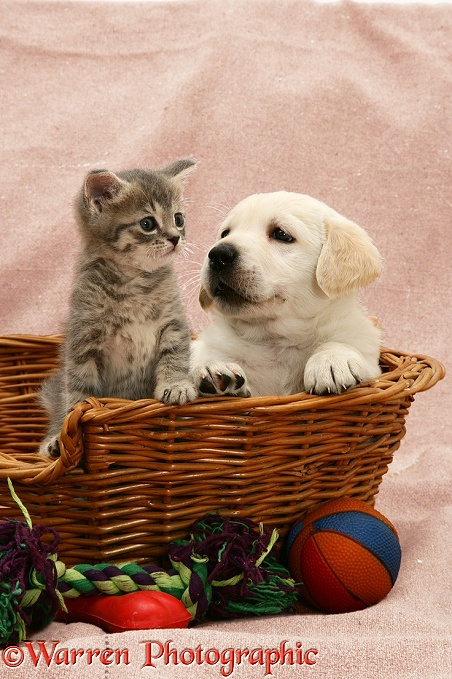 Yellow Labrador Retriever pup and blue tabby kitten, both 5 weeks old, in a basket