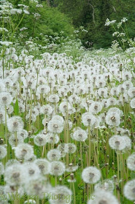 Dandelion (Taraxacum officinale) seedheads or 'clocks'.  Surrey, England