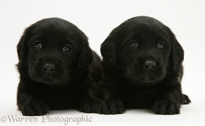 Black Goldador Retriever pups, white background