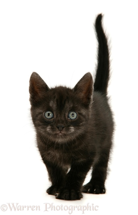 Black Smoke Spotted British Shorthair kitten, white background