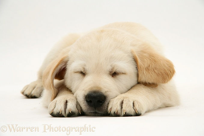 Yellow Goldador Retriever pup asleep, white background