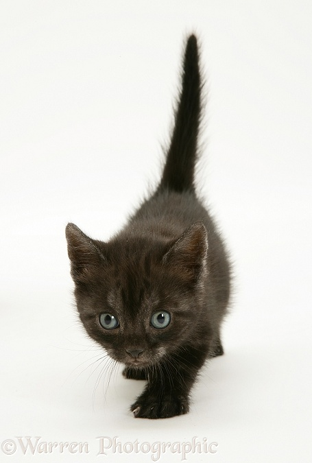 Black Smoke Spotted British Shorthair kitten walking, white background