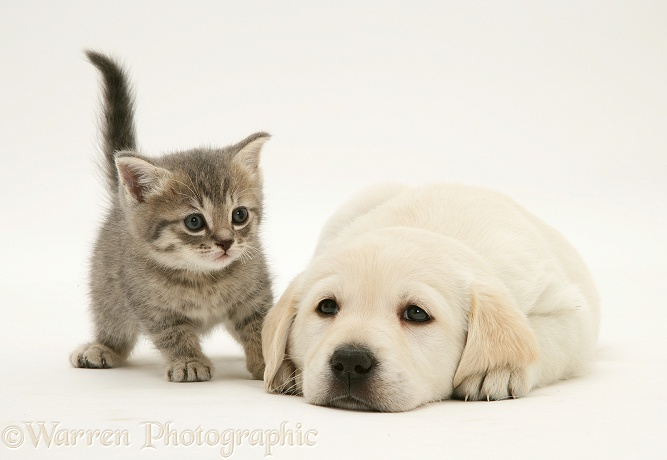 Yellow Goldador Retriever pup with blue tabby kitten