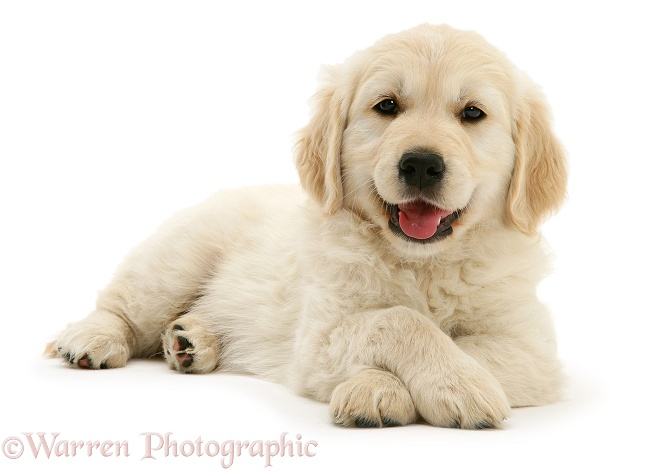 Smiley Golden Retriever pup lying, head up, paws crossed, white background