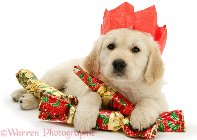Golden Retriever pup with Christmas crackers and paper hat, white background