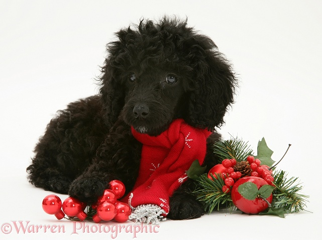 Black Miniature Poodle with red scarf and decorations, white background