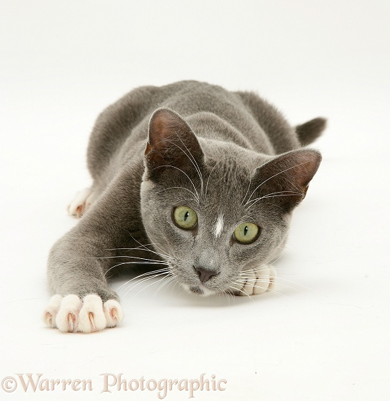 Blue-and-white Burmese-cross cat Levi, white background