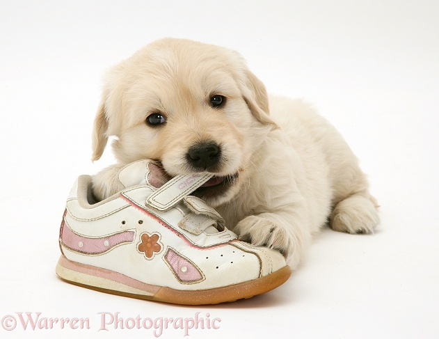 Golden Retriever pup chewing a child's shoe, white background