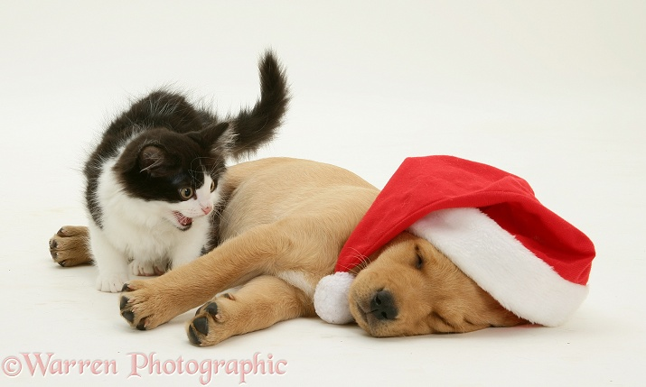 Black-and-white kitten and Yellow Labrador Retriever pup asleep wearing a Father Christmas hat, white background
