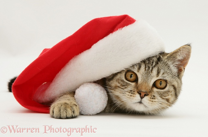 Tabby cat Tiger Lily under a Father Christmas hat, white background