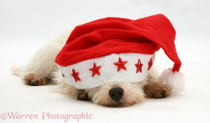 Sleepy West Highland White Terrier pup wearing a Father Christmas hat, white background