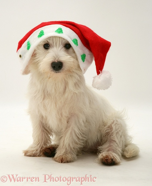 West Highland White Terrier pup wearing a Father Christmas hat, white background