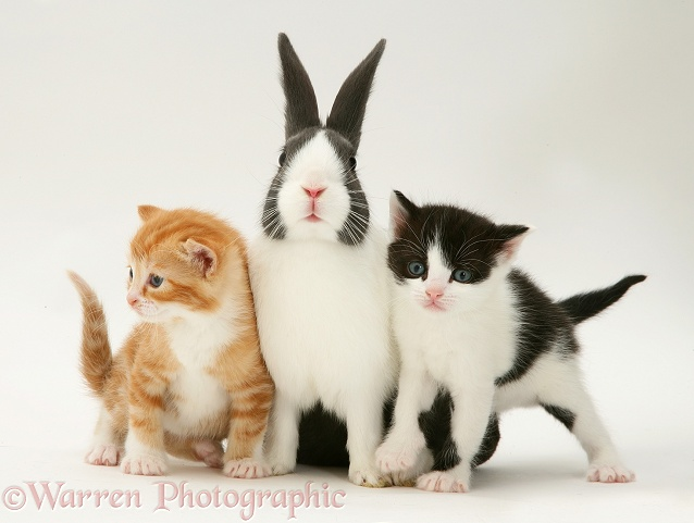 Ginger and black-and-white Kittens with blue Dutch buck rabbit