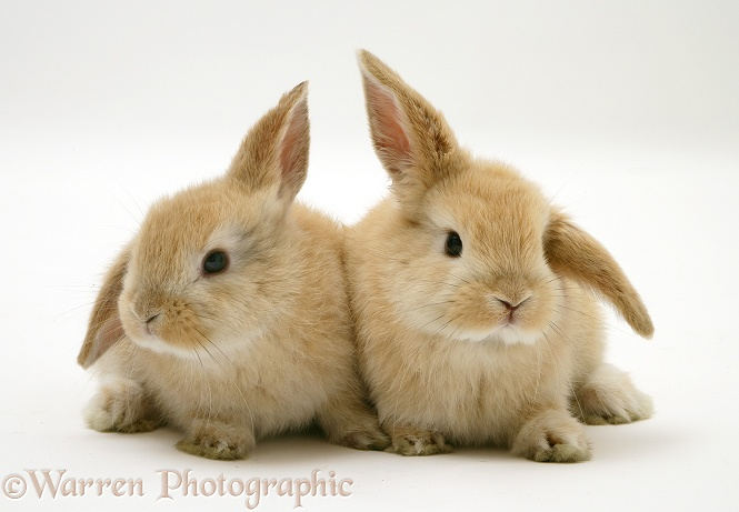 Young Sandy Lop rabbits, white background