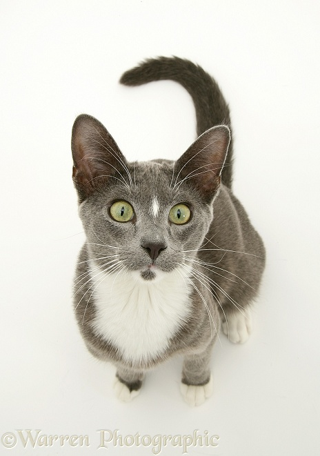 Blue-and-white Burmese-cross cat, Levi, looking up, white background