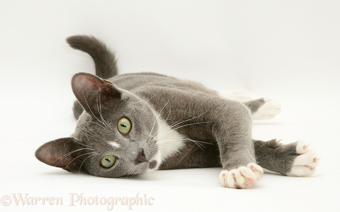 Blue-and-white Burmese-cross cat, Levi, lying down, white background
